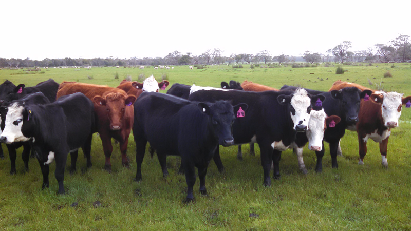 2015 drop PTIC heifers @ 110% pregnancy scanning rate
