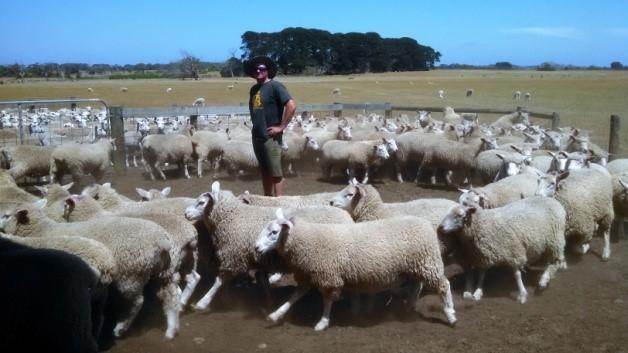 Terminal x Maternal lambs