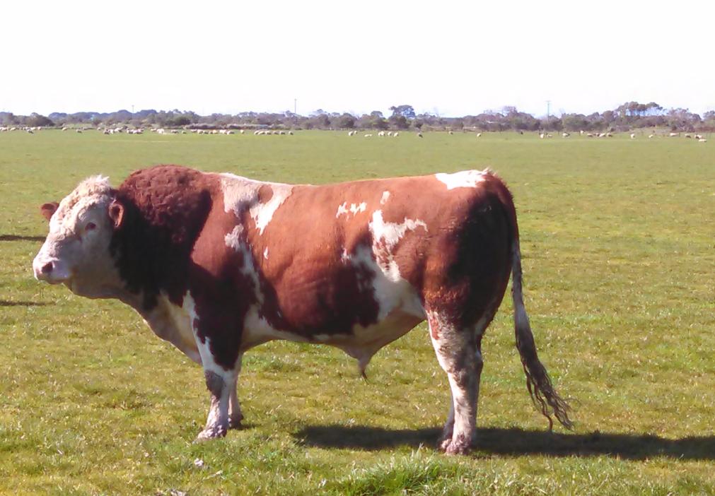 Canadian twinner bull